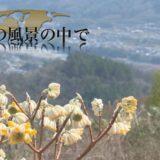 ~日常の風景の中で~「池田町西山のミツマタ畑」