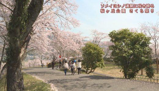 (取材日:4月7日、取材地:井川町西井川 桜ヶ丘公園)