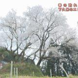 (取材日:3月26日 取材地:井川町井内東)