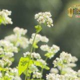 日常の風景の中で 「秋を告げるそばの花」