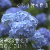 日常の風景の中で「くもり時々雨の紫陽花」